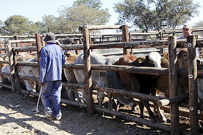 Idee di affari del bestiame